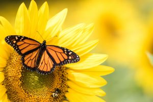 monarch butterfly on a sunflower representing freedom from binge eating disorder or compulsive overeating after therapy in Washington DC at Monarch Wellness